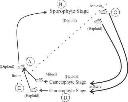 know the diagram of the generalized sporophyte and gametophyte life cycle