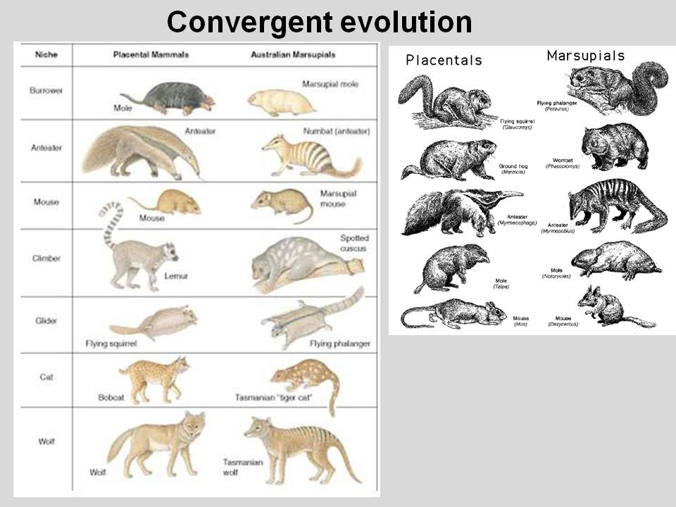 evolution of marsupials You wouldn't know it from their relatively paltry numbers today, but marsupials (the kangaroos, koalas, wombats, etc of australia, as well as the opossums of the western hemisphere) have a rich evolutionary history.